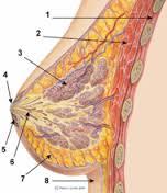 bröstkörtlar, bröst wikipedia