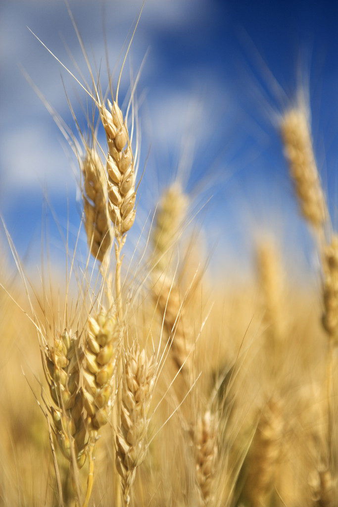 Wheat Growing --- Image by © Royalty-Free/Corbis
