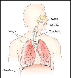 diaphragm wikipedia com